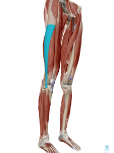 瑞穂市スタッフブログ「腸脛靭帯(ちょうけいじんたい)」の図
