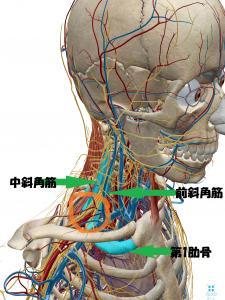 瑞穂市スタッフブログ筋肉と神経の図