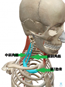 瑞穂市スタッフブログ骨格と筋肉の図