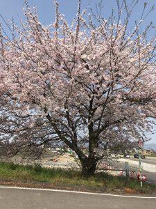 瑞穂市スタッフブログお昼間の桜